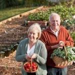Senior couple harvesting vegetables from garden.
