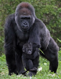 gorilla arm - gorilla mother and baby at bristol zoo